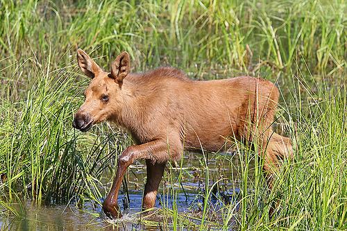 Moose Calf Crossing A Bog