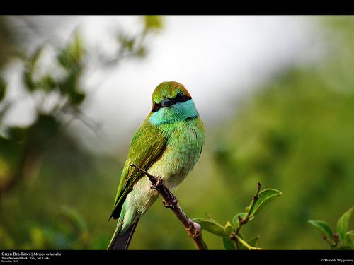 GreenBee-Eater - Yala