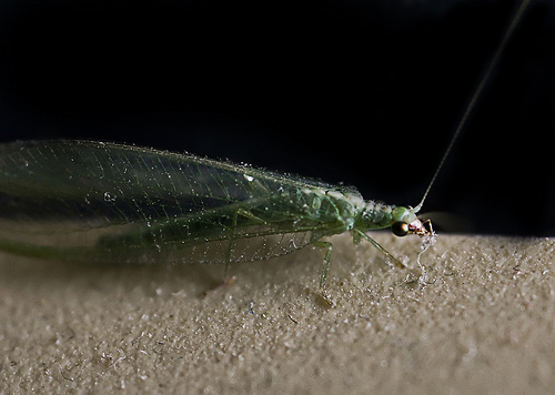 Green Lacewing - Chrysopidae