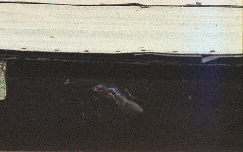 Barn Swallow DEFWR 2k6 1