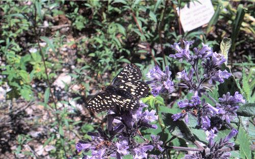 Butterfly 2 2k6 TRP