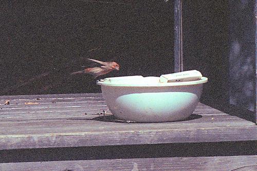 House Finch PH 1995 2