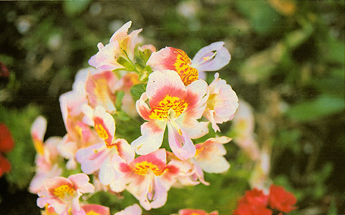 Tiger Lily 6-11 a