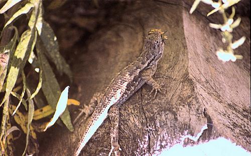 Lizard 1 JM F200