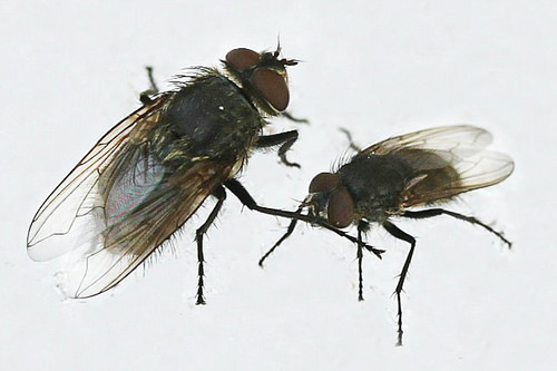 Big And Little House Flies - Musca Domestica