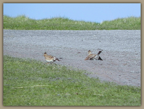 Skylarks - what are they doing?