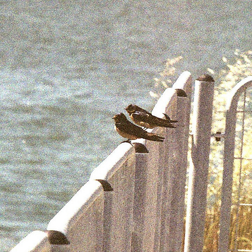 Barn swallows OIH 2k8 1