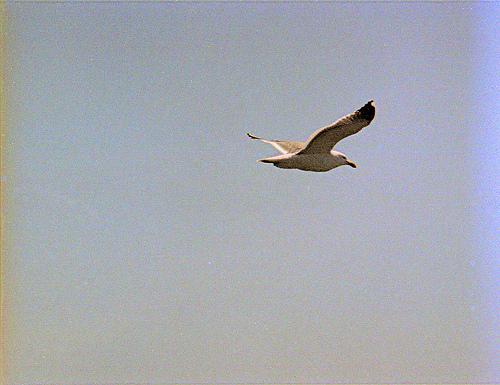 California Gull OIH 2k8 1