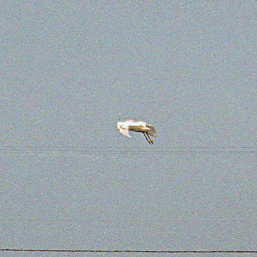 Snowy Egret inflight OIH 2k8 1