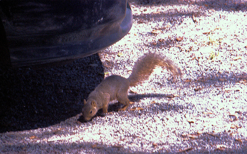 Eastern Grey Squirrel 2k6 TRP