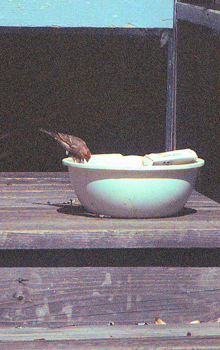 House Finch PH 1995 1