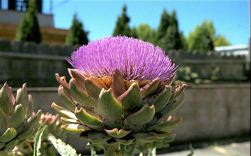 Artichoke Flower A 6-11 2