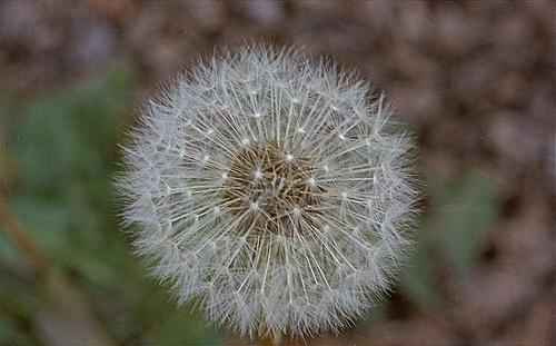 Dandelion seedpod A 3-13-13
