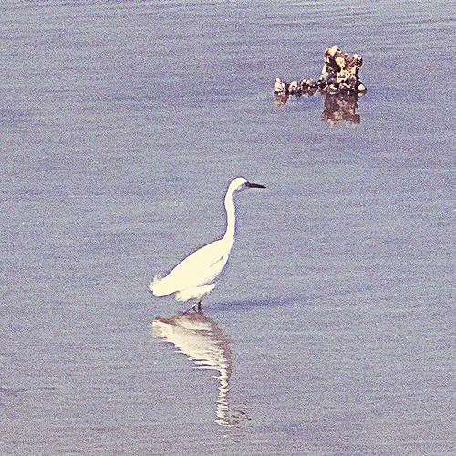 Snowy Egret BM 3-20-13 1