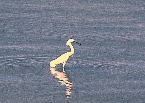 Snowy Egret BM 3-20-13 2
