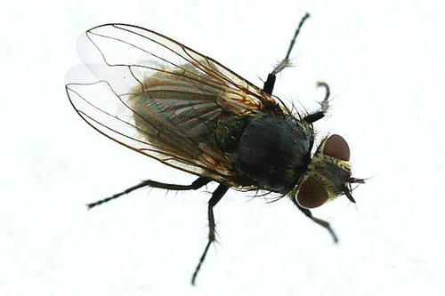 Female House Fly Resting On Snow 001 - Musca Domestica