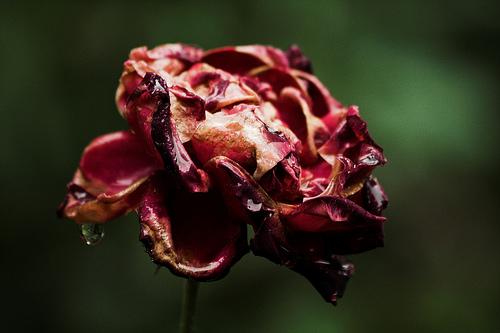 Unlike this rose, I am still alive