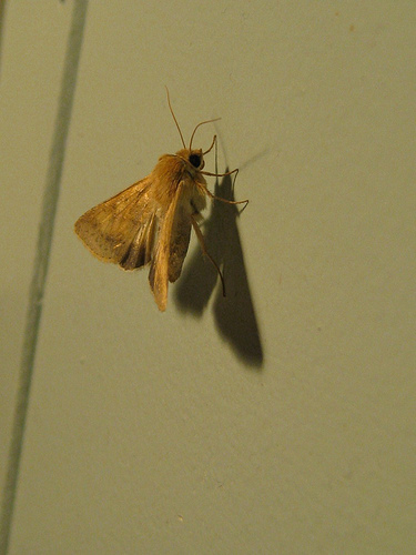 trailing-clouds-of-dust moth