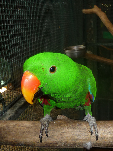 Ecky the Eclectus Parrot