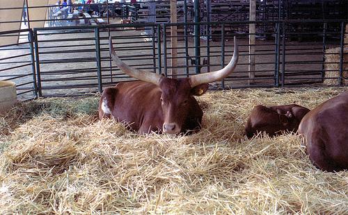Watusi Bull ACFG 1995