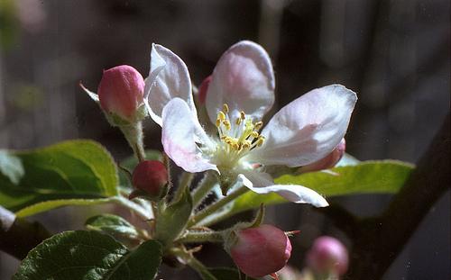 Cherry Blossom A F4s 3-13-13