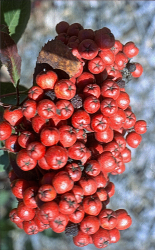 Holly berries A 3-13-13