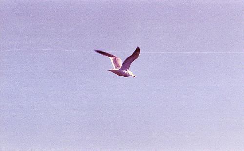 Western Gull  BM 3-20-13 1