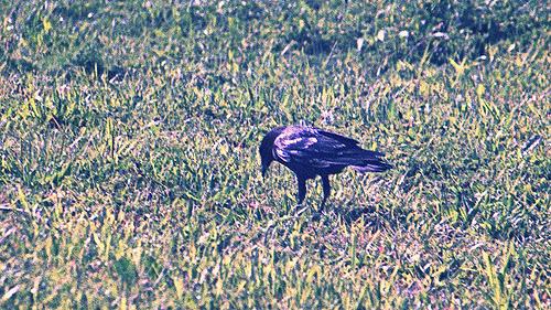 Common Crow BM 3-20-13 1