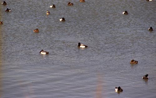 Lesser Scaup Flock BM 3-20-13 4