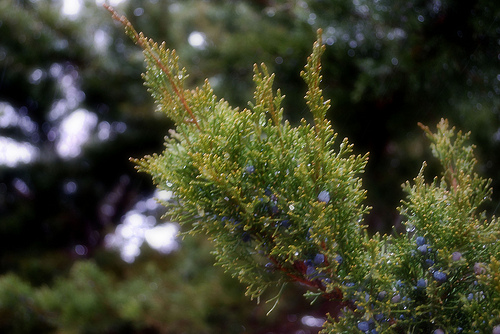 Juniper in Soft Focus