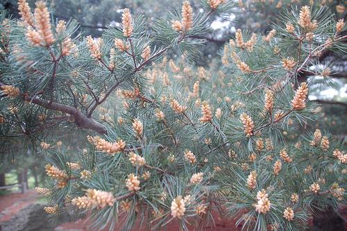Arnold Arboretum, 18 May 2010: Pollen-laden pine cones (conelets?) atop Bussey Hill