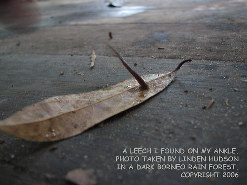 A BORNEO RAIN FOREST LEECH