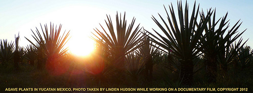 AGAVE AT SUNDOWN IN MEXICO