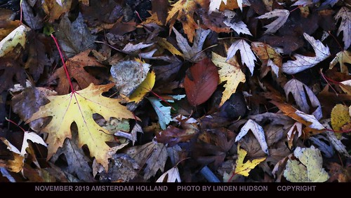 FALL LEAVES OF HOLLAND